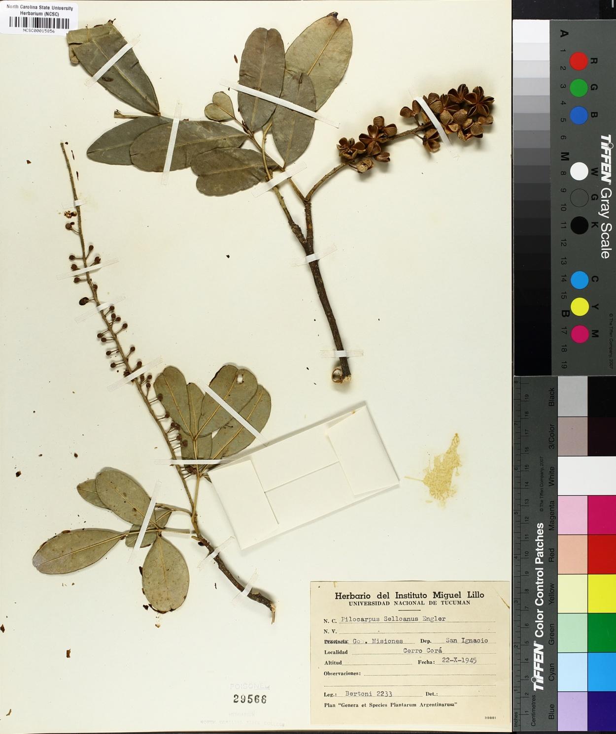 Pilocarpus selloanus image