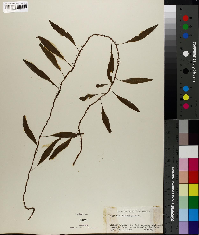 Polypodium heterophyllum image