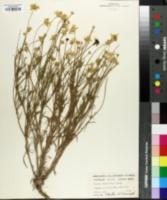 Image of Actinea odorata