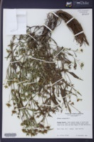 Bidens tripartita image