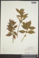 Osmanthus fragrans image