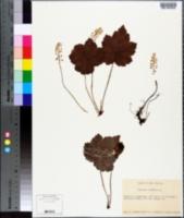 Tiarella cordifolia image
