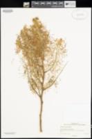 Image of Grevillea leucopteris