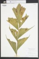 Caryota urens image