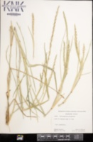 Stenotaphrum secundatum image