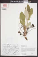 Image of Eriogonum allenii