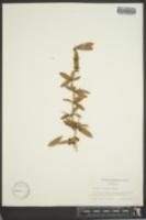 Berberis julianae image