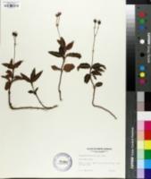 Chimaphila maculata image