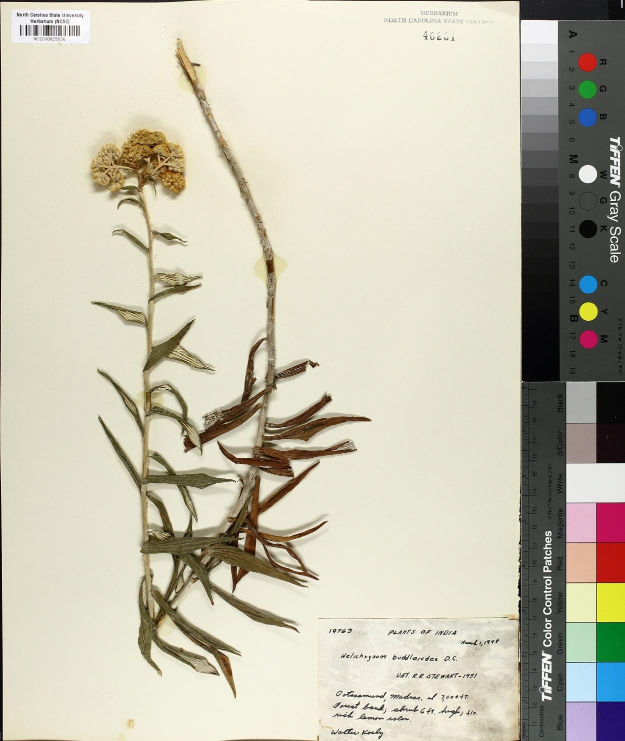 Helichrysum buddleioides image