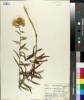 Image of Helichrysum buddleioides