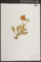 Petunia violacea image