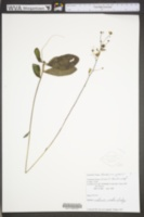 Image of Hieracium greenii