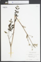 Angelica villosa image