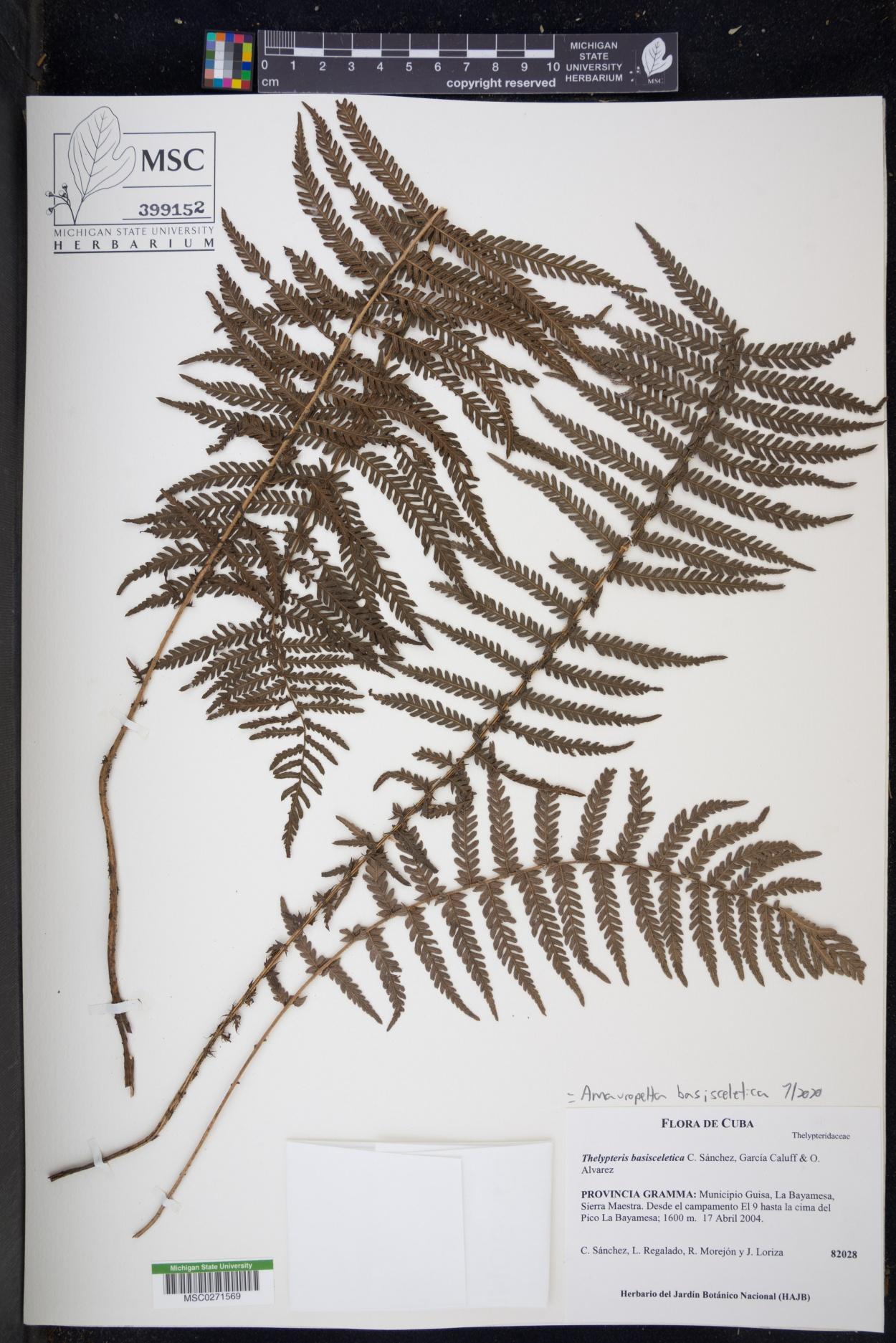 Amauropelta basisceletica image