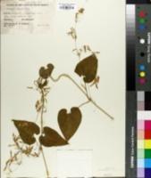 Image of Riocreuxia torulosa