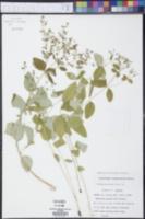 Euphorbia apocynifolia image