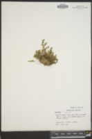 Selaginella x neomexicana image