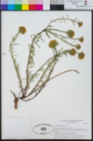 Quinchamalium chilense image