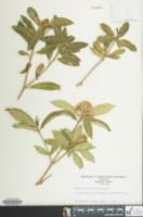Image of Sarcococca ruscifolia