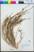 Penstemon linarioides image