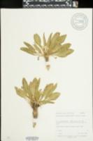 Chylismia heterochroma image