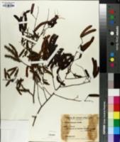 Image of Mimosa sepiaria
