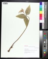 Image of Trillium catesbaei