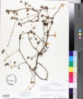 Portulaca oleracea image