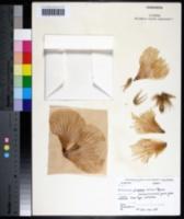 Hibiscus symonii image