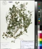 Image of Pseudofumaria lutea