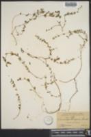 Image of Euphorbia chiogenes
