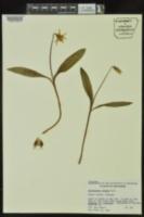 Erythronium albidum image