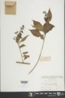 Image of Premna microphylla