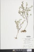 Image of Thymus x citriodorus