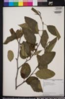 Alnus rhombifolia image