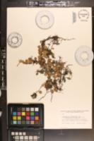 Image of Lemmaphyllum microphyllum