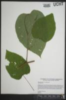 Tilia americana var. americana image