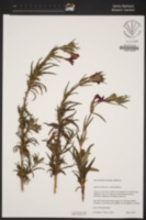 Image of Diplacus rutilus