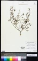 Paronychia patula image