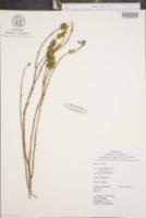Image of Dalea coerulea