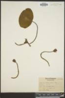Brasenia peltata image