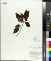 Image of Pilea brevicornuta