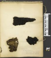 Scorias spongiosa image