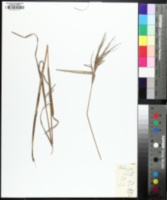 Andropogon elliottii image
