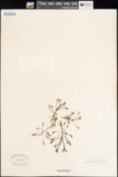 Drosera longifolia image