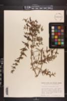 Image of Trichostema austromontanum