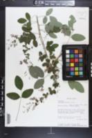 Lespedeza bicolor image