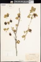Ribes marshallii image