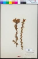 Rosa minutifolia image