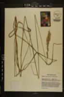 Tridens carolinianus image